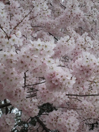 Fluffy blossoms
