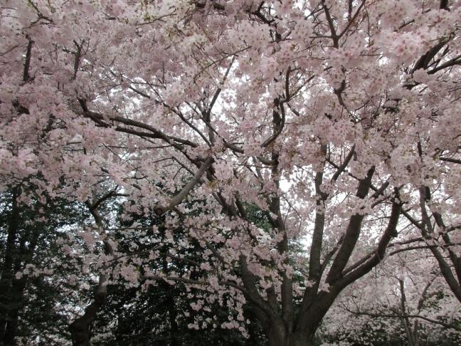 Blossom drama
