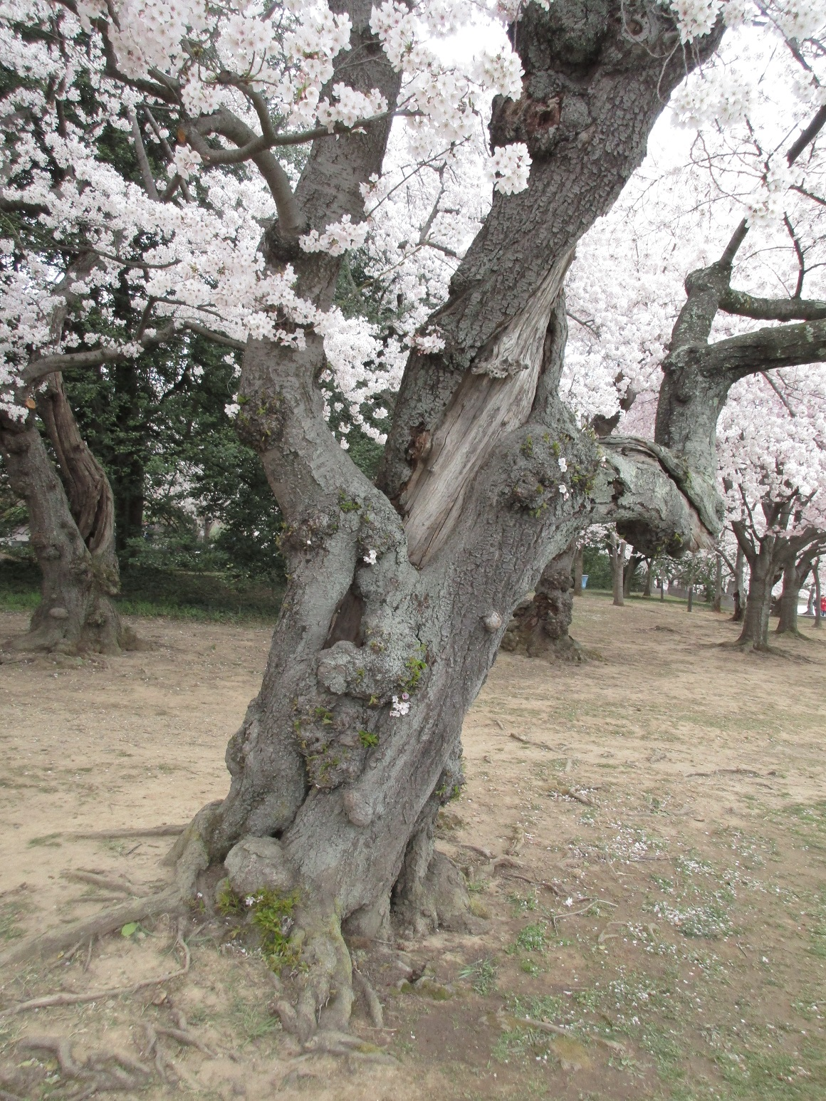 Very old cherry trees